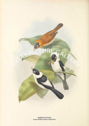 ARSES BATANTAE - Large Frilled-necked Flycatcher